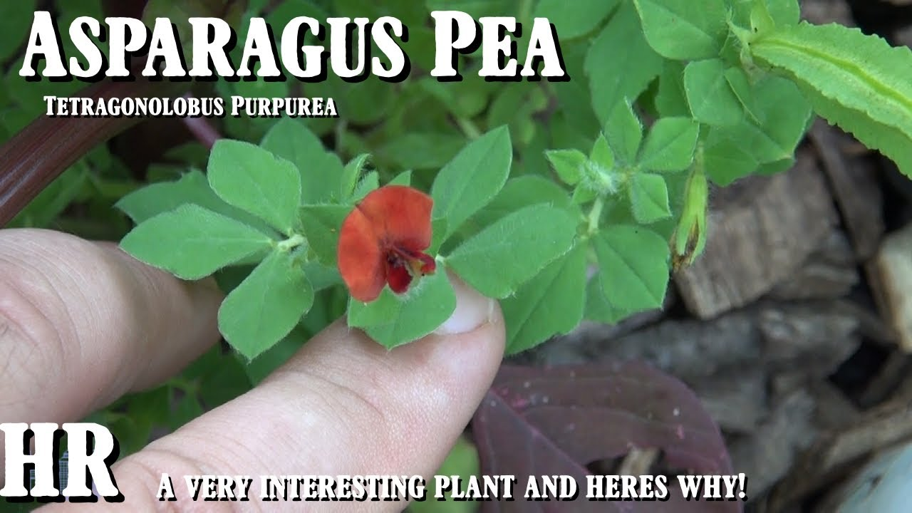 Tetragonolobus Purpureus 40 SEEDS Asparagus Pea EDIBLE VEGETABLE