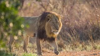 Panthera World Lion Day 2020