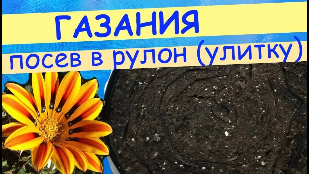 Посев газании в рулон (улитку). Как сделать улитку для рассады.