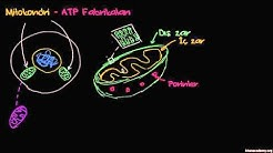 Mitokondri - ATP Fabrikaları (Biyoloji / Hücrenin Yapısı)