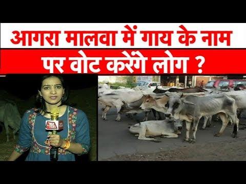 आगर मालवा में गायों का स्वर्ग कैसे बना नर्क ? MP Tak