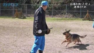 神奈川県警の直轄警察犬訓練所が横浜市栄区にある。シェパードやラブラ...