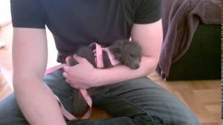 Zwergspitz-pudel-chihuahua-mix Casey Will Nicht Spazieren Gehen / Pomeranian Chihuahua Poodle Puppy