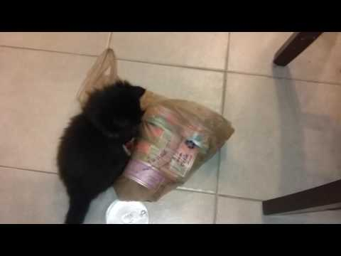 Bombay Kitten (Cinnomon) plays with plastic bag!