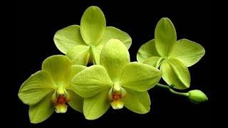 Знакомство с самыми популярными сортами и разновидностями орхидей
