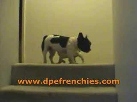 French Bulldogs Videos French Bulldog Dpefrenchies Com