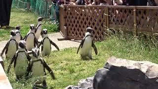 「ペンギン よちよちウォーク」 後半の子達は、基本まだ外に居たい子達...