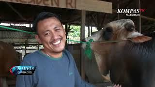 Permalink to Presiden Jokowi Qurban Sapi Jumbo 1,1 Ton di Palembang