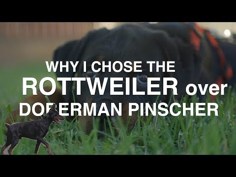 WHY I CHOSE THE ROTTWEILER OVER THE DOBERMAN PINSCHER
