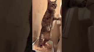Кошка ходит стоя в туалет))))