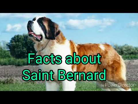 Saint Bernard dog breed facts.