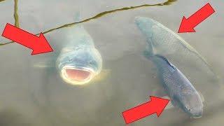 Подвохи в нерест таскают рыбу мешками! Толстолоб на 30 кг!!!