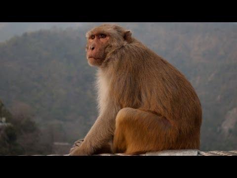 Unbelievable Monkeys in Rishikesh, North India