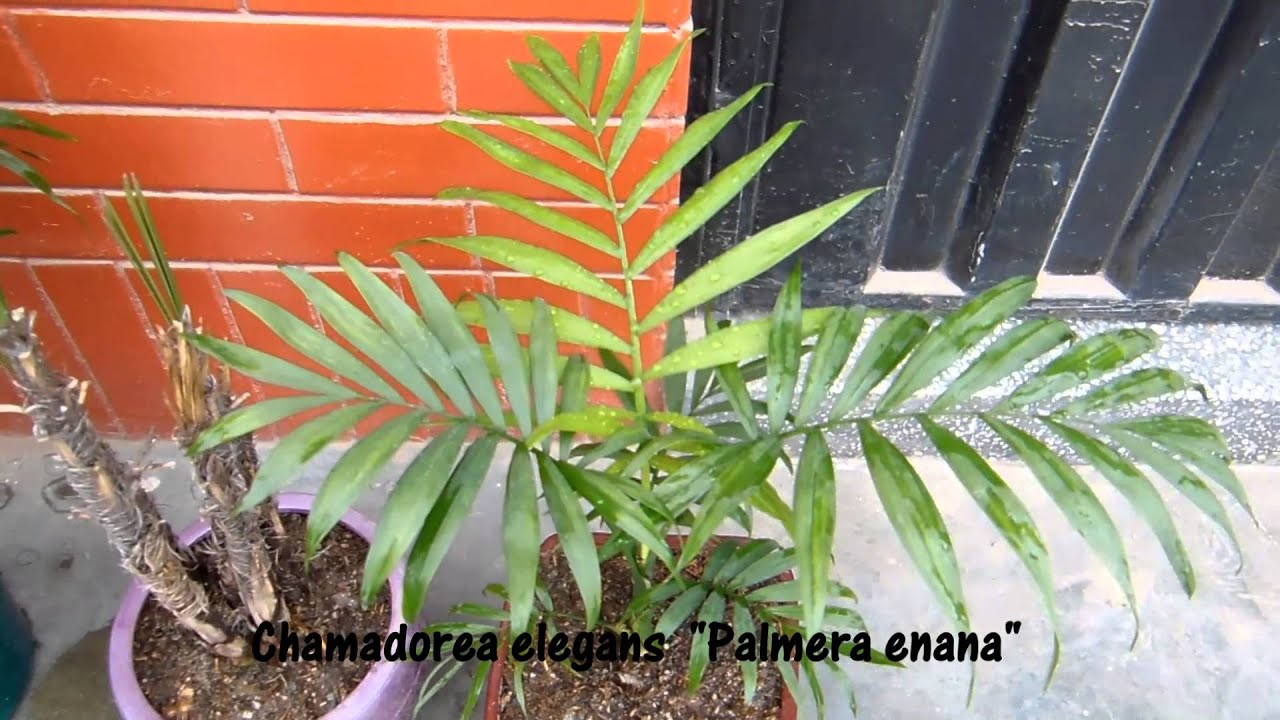 Palmeras para el interior parte 1 youtube for Palmeras de interior