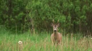 Честная охота на самца косули