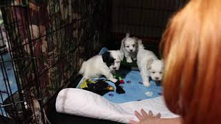 Coton Puppies For Sale - Isha 6/10/21