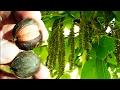 *Shagbark Hickory Tree* +Carya ovata+Rich Oily Nut+2018+