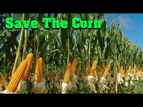 You'll Never Look At Corn The Same... || Maize