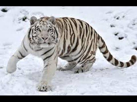 metal tiger horoscope