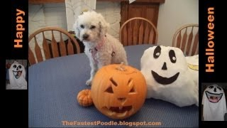 Happy Halloween From The Fastest Poodle -- A Pumpkin Eating Dog