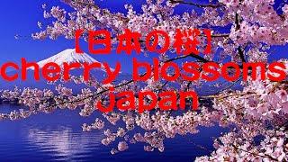 【日本の桜、東京、京都】Best Cherry Blossoms Spot 【tokyo】【kyoto】