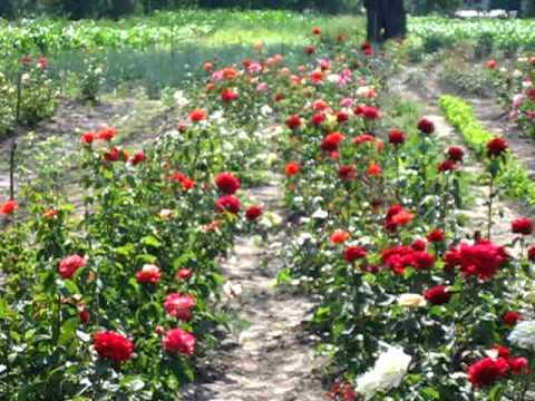 Розарий Роза Artemis (Tantau Германия, 2009)