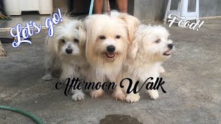 Maltese Dogs Afternoon Walk