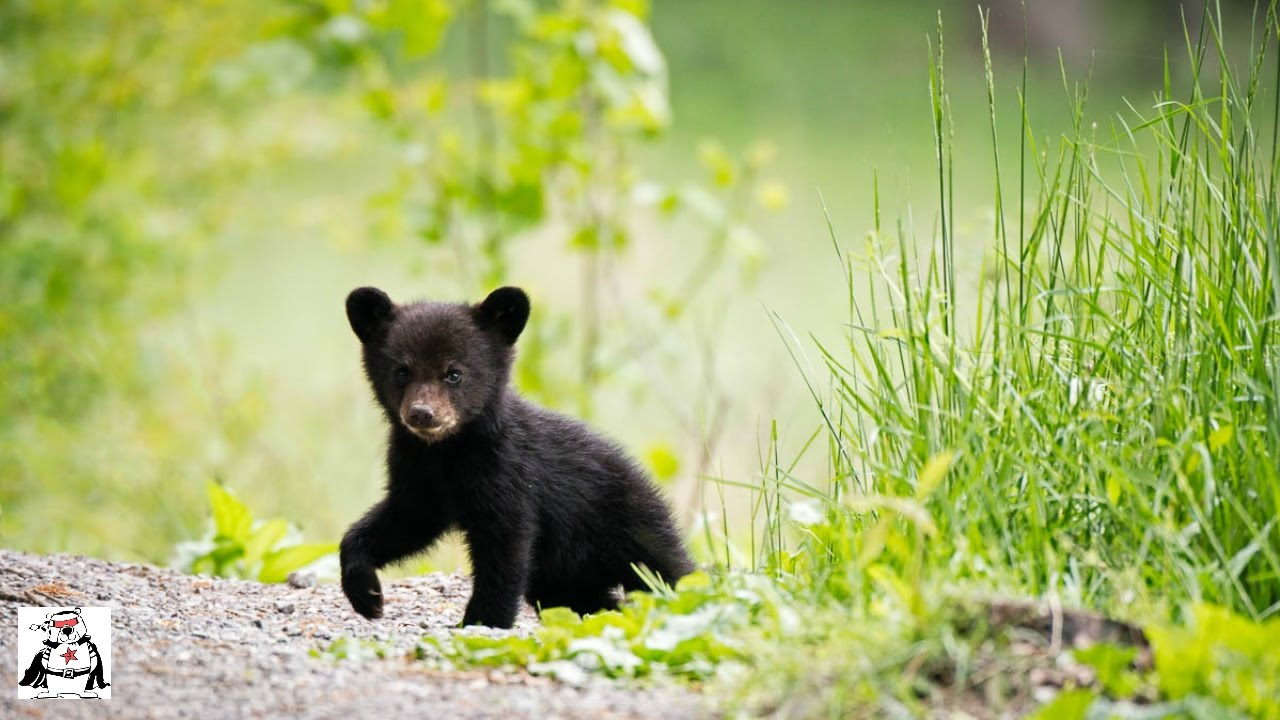 Baby Black Bear Cubs Playing Compilation Youtube