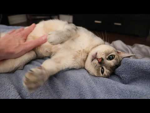 Abyssinian cat loves getting belly rubs