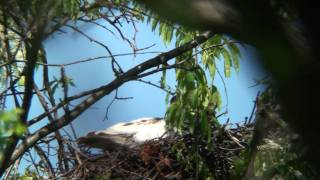 Leucistic female Red-tailed hawk shows prey at nest.