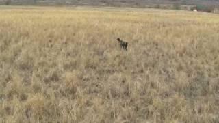 Pheasant Run Bird Dogs