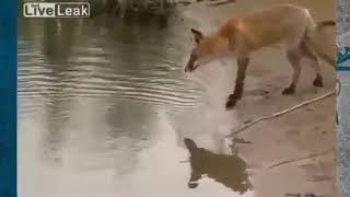 Лиса ворует рыбу Приколы на рыбалке