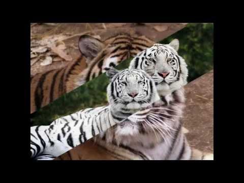 Một số hình ảnh về con hổ