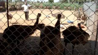 EMU FARMING PUNJAB,HARYANA,09876057076,THE NEST EMU FARMS AND HATCHERIES,emu farms punjab