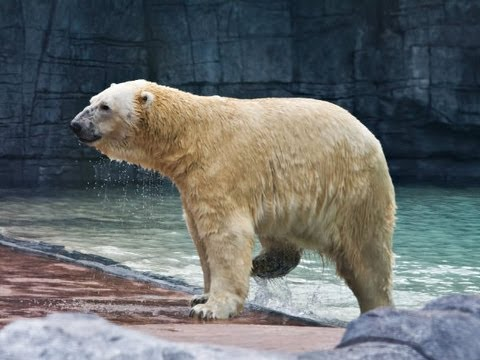 Inuka the polar bear settles into his new home - YouTube