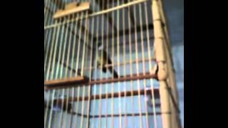 Suara Burung Cucak Jenggot Betina isian dan volume oke