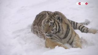 Siberian tigers chase Drone like it's a toy (ADORABLE)