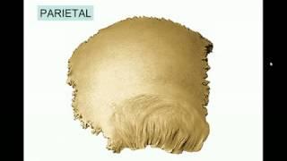 Anatomía - Cráneo, Hueso Parietal - Parte 7 de 7