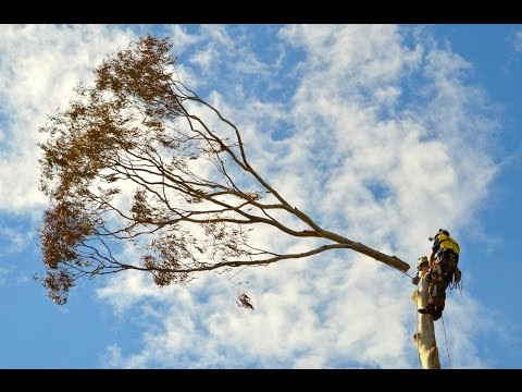 The Tree Doctor - Eucalyptus Dunnii Removal - Brisbane, Queensland.