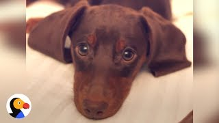 Dachshund Puppy is Master of Puppy Dog Eyes | The Dodo