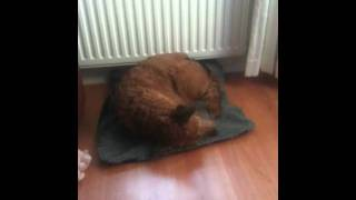 Dog dreaming, funny noises