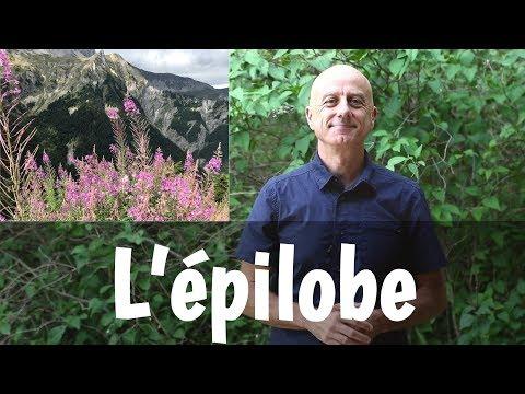 Epilobe: problèmes de prostate, cystites et diarrhées