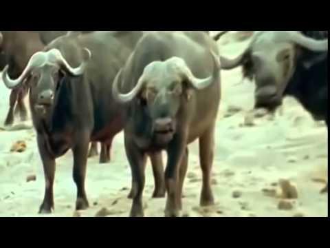 Documental de Leones   ¡¡ATENCIÓN!!   Los Leones Tienen Hambre   NatGeo 480p