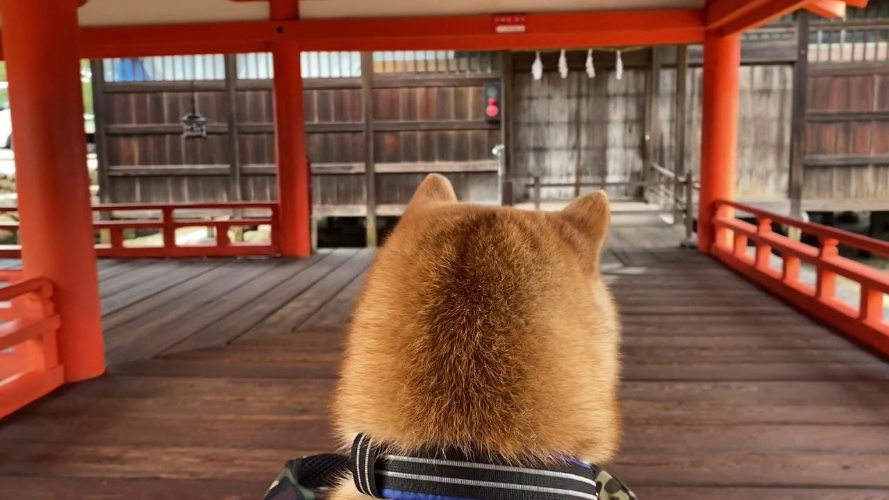 柴犬の後頭部越しで見る世界遺産[厳島神社]編 [Shibainu Daifuku went to Itsukushima Shrine]