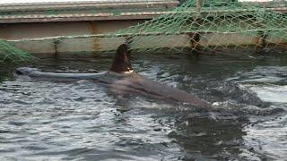 Косатка, выпущенная из бухты Средняя, воссоединилась со своими дикими сородичами.