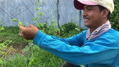 Pruning and Vine training of Patola by Sir Bulak