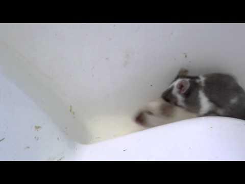 Accouplement chez la souris domestique