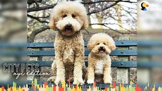 Rescued Mini Doodle Dog and Giant Sister Love Their NYC Neighborhood | The Dodo City Pets