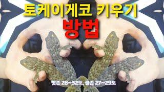 초보자 파충류 토케이게코 키우기 방법