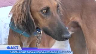 Актюбинские собаки породы казахская тазы признаны одними из самых лучших в стране